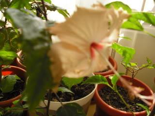 Japonezii mei forumul-florilor CIMG3660