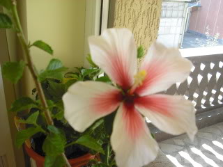 Japonezii mei forumul-florilor CIMG3662