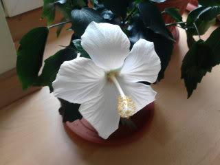 Japonezii mei forumul-florilor - Pagina 18 P020311_1525