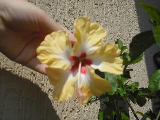 Hibiscus rosa sinensis - Pagina 39 CIMG3950