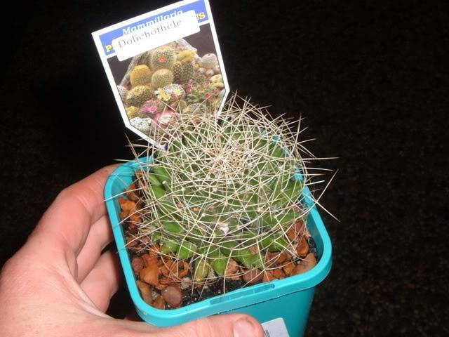 Bunnings cacti id DSCF5673