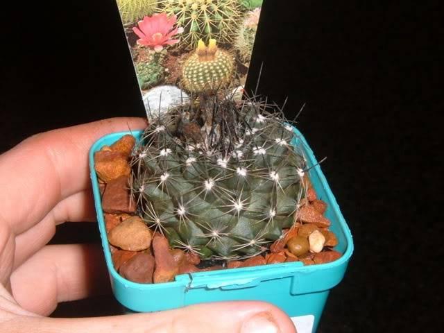 Bunnings cacti id DSCF5674