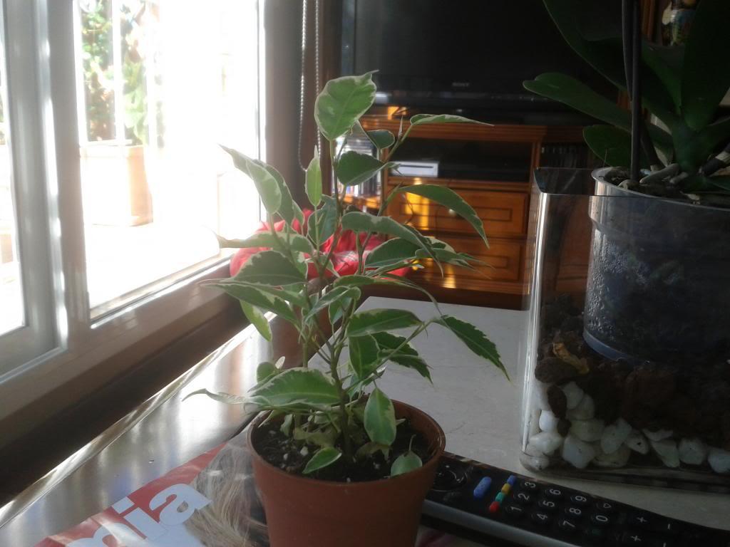 Necesito que me ayudeis para saber como hacer con mis prebonsais Ficus1_zps335c15ce