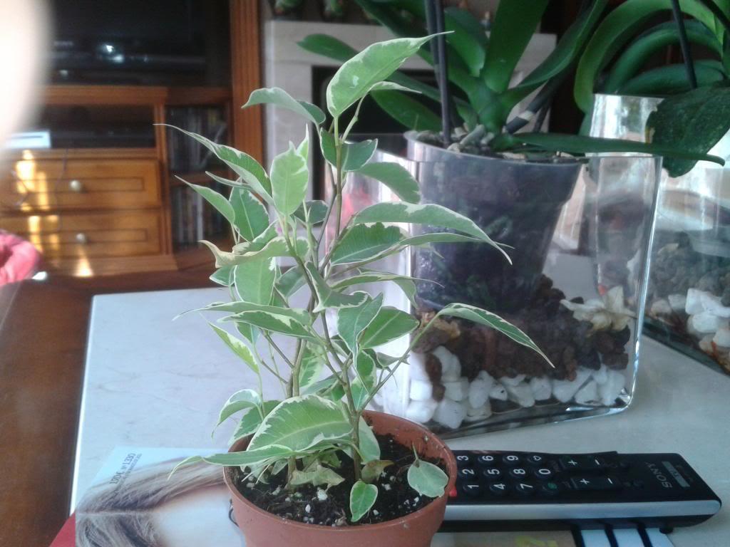 Necesito que me ayudeis para saber como hacer con mis prebonsais Ficus2_zps053d9f4c