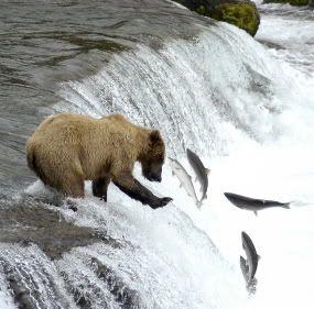 Min bild slår din bild - Sida 4 Salmon_vs_Bear