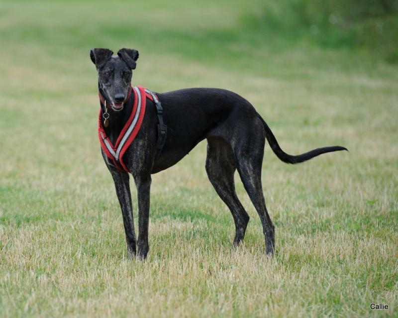 5. Best Sighthound Callie_zps6c48d0bf