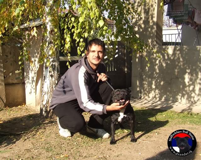 Stafordski Bul Terijer štenci na prodaju BlackMailDaffodilYellow