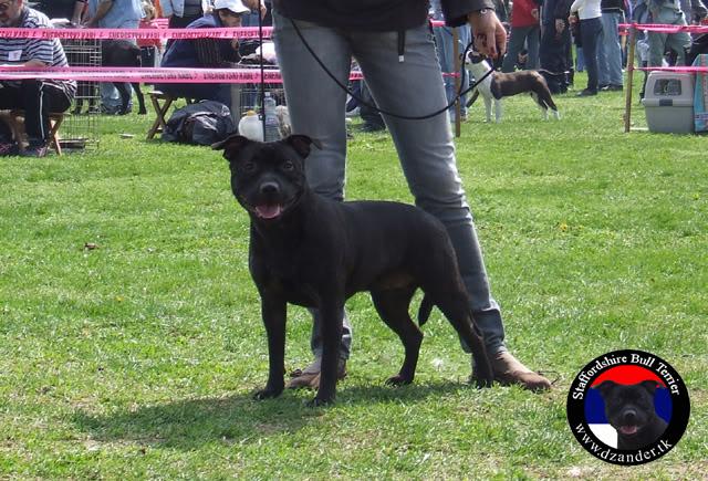 Stafordski Bul Terijer štenci na prodaju CHjCHFunnyDZanderOdMihajlovica