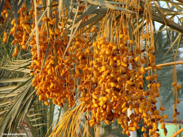 Libya - It's nature & culture Dates