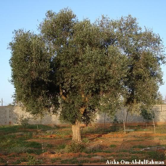 Libya - It's nature & culture OliveTree