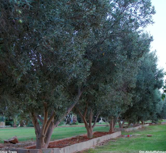 Libya - It's nature & culture OliveTrees