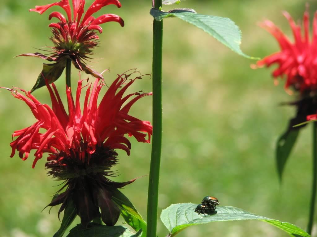 Bee Balm 003