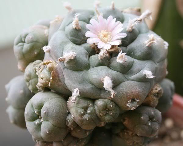 spring cacti flowers Caes22