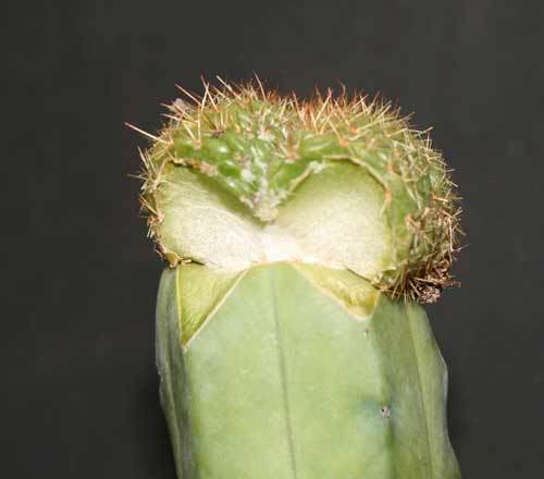 How to graft cacti (larger scions) Tricho