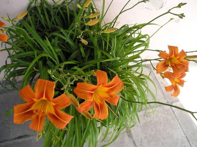 Najjednostavnijije vrtne cvjetnice P6220861