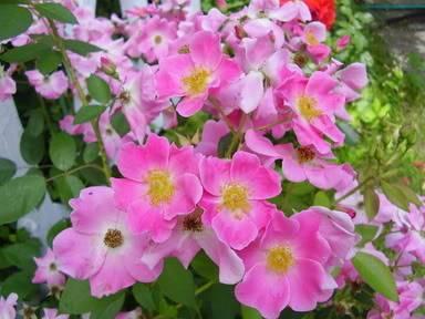 Pour Camassia, comparaison de rosier Ballerina 2006-06-30004