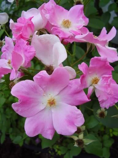 Pour Camassia, comparaison de rosier Ballerina 2006-07-09e005