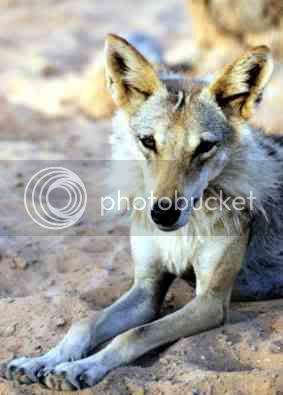 Sina Arabian_Wolf_lying