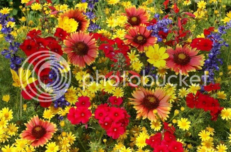 Le fil des anniversaires...(suite 1) - Page 27 681500-fleurs-sauvages-ete-designees-national