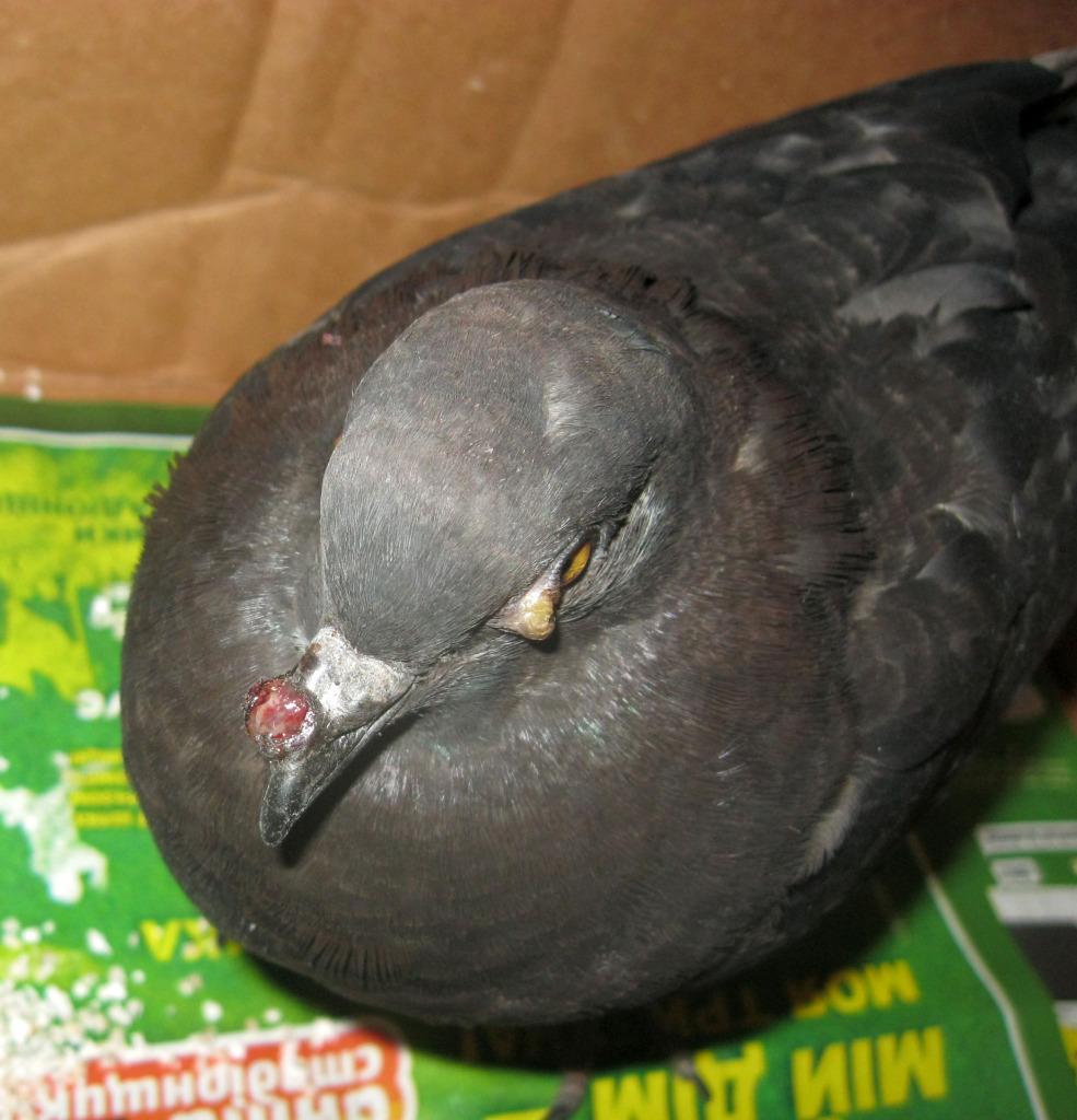 Ill wild pigeon, need help urgent 1