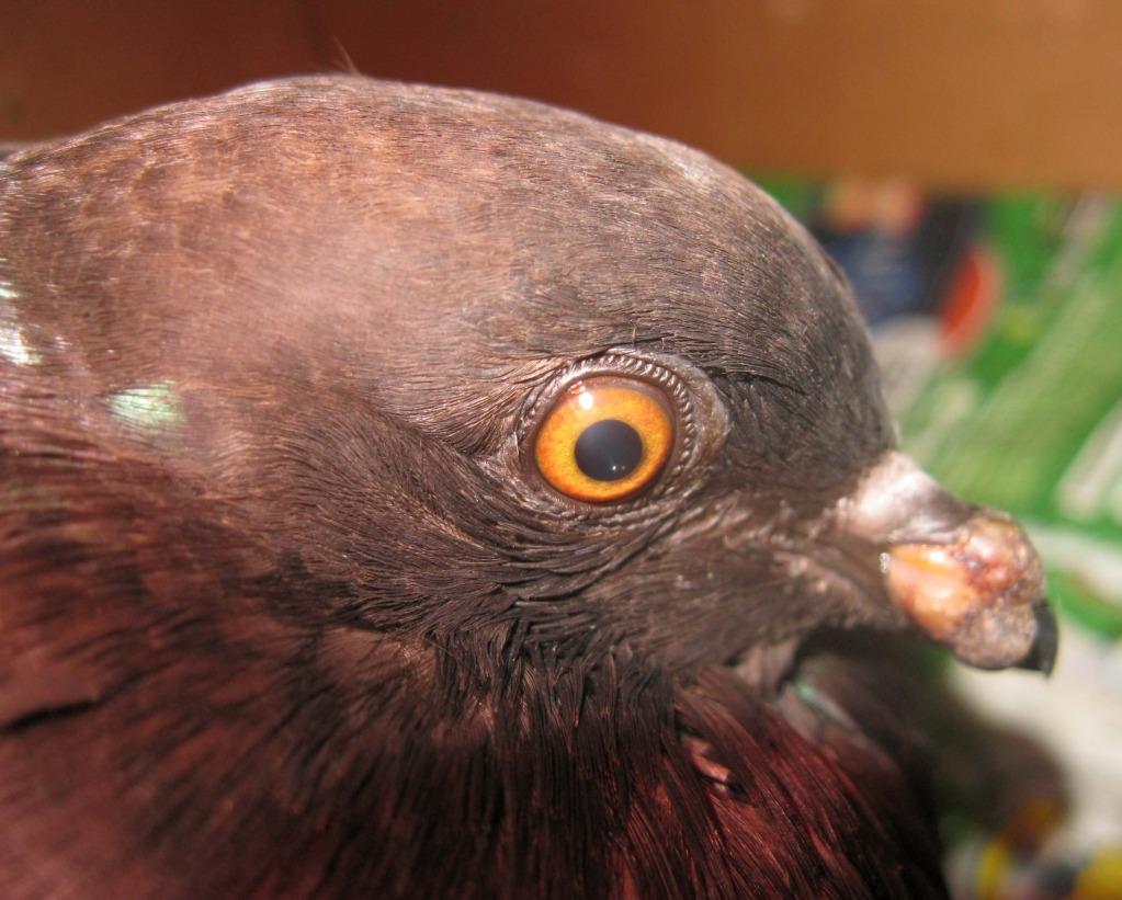 Ill wild pigeon, need help urgent 2