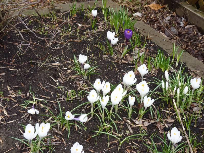 Le printemps montre le bout de son nez... Avril2011100