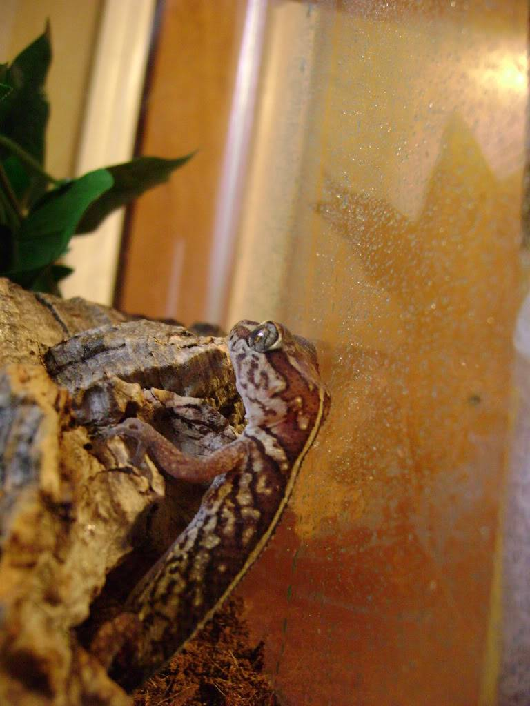 Pictus Gecko DSC01977