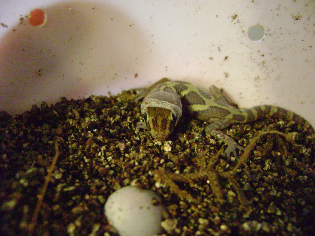 Pictus Gecko DSC02012