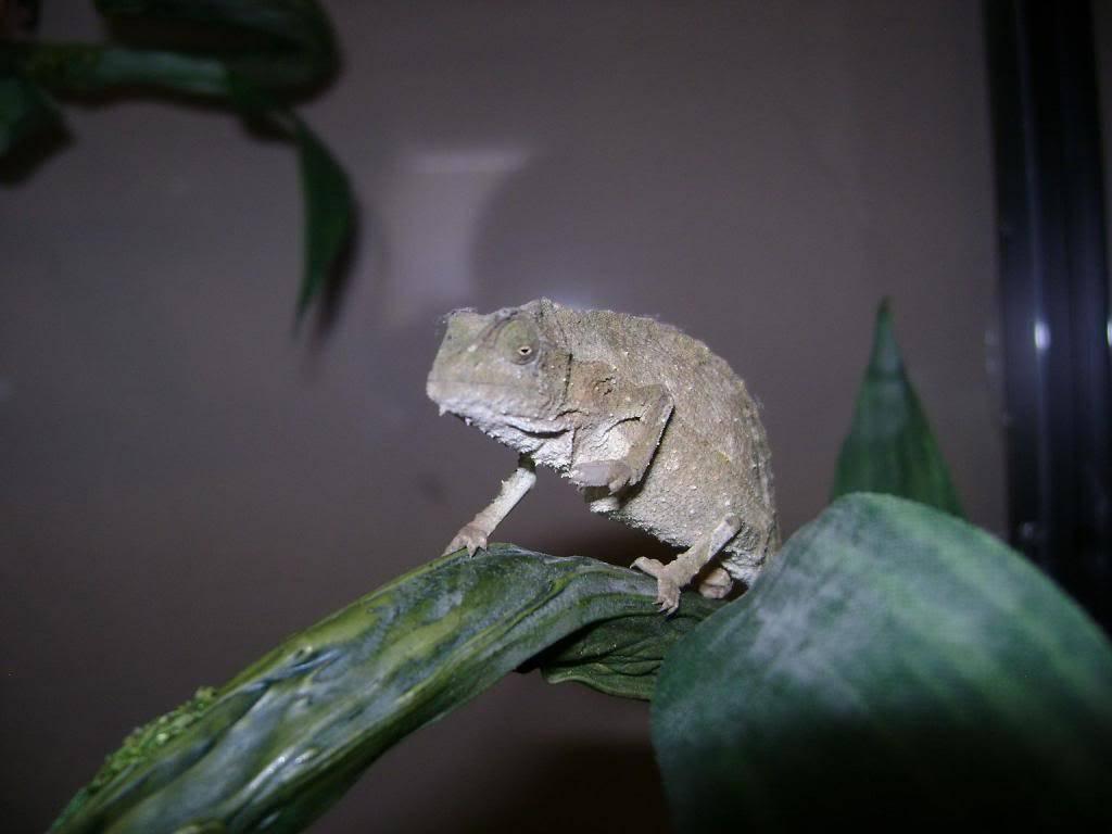 Pygmy chameleons DSC02344