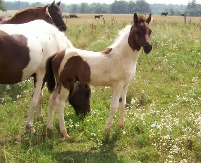 MAKE OFFER please  (new pics) - TWH-SSH....Allen, mares, farm Allenisashowoff
