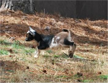 The Goaties! 20120218_19-1