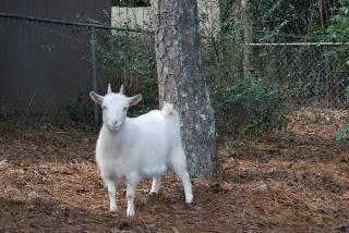 The Goaties! 20120218_32-1