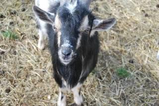 The Goaties! 20120218_35-1