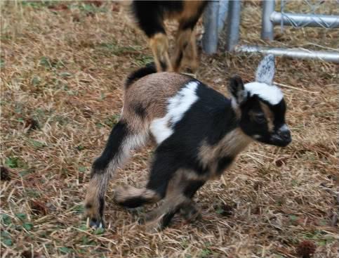 The Goaties! 20120218_5-1-1