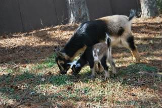 The Goaties! 20120218_51-1