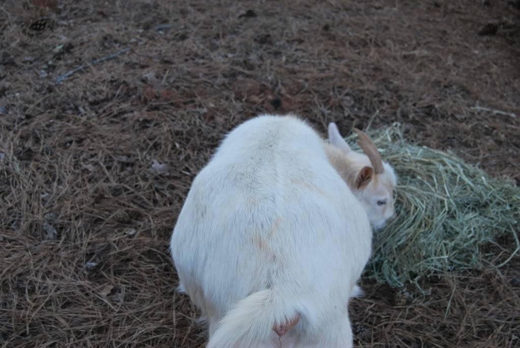 The Goaties! 20120305_3
