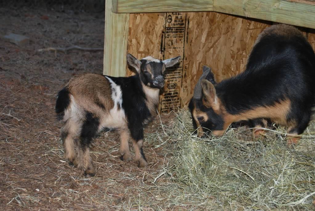 The Goaties! 20120305_9