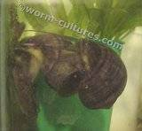 Wanted ~ Purple Apple Snails Th_applesnail2
