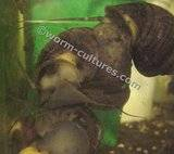 Wanted ~ Purple Apple Snails Th_applesnail3