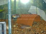 Pelvicachromis Taeniatus Moliwe Th_taeniatis