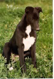 Wuff Like A Dog(Stray dogs)Semlit Accepting 180px-GreyhoundPup