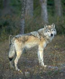 The Timber Wolf Wolf-13