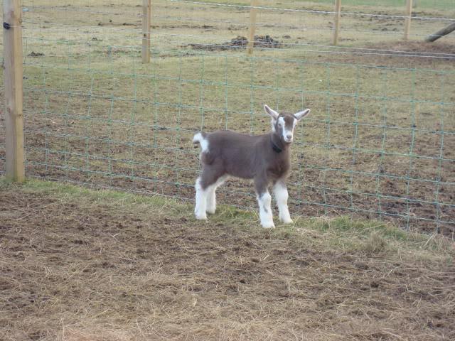 Goat Kids 2010 DSC00693