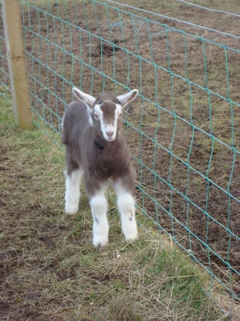 Goat Kids 2010 DSC00695