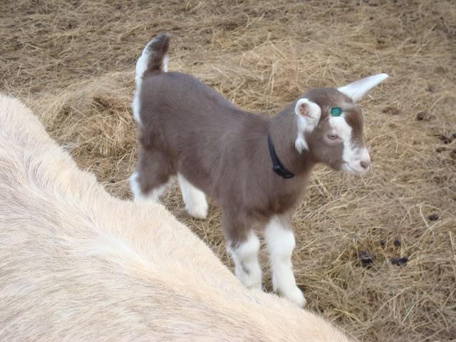 Goat Kids 2010 DSC00696