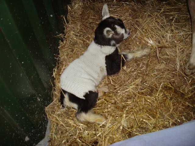 Goat Kids 2010 DSC00775