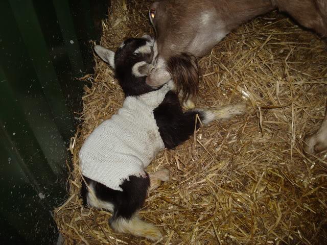 Goat Kids 2010 DSC00776