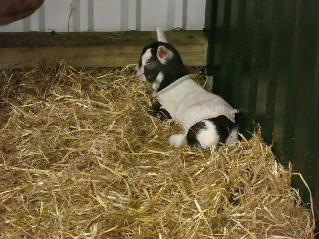 Goat Kids 2010 DSC00778
