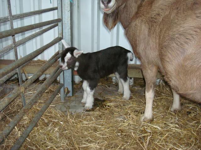 Goat Kids 2010 DSC00779
