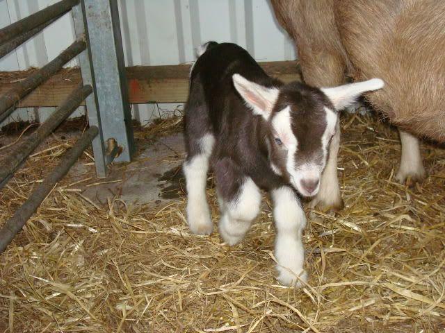 Goat Kids 2010 DSC00780